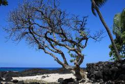 old tree on beach near dentist in holualoa